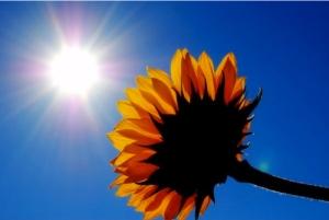 Sunflower renew Untitled-12