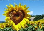 sunflowers-love